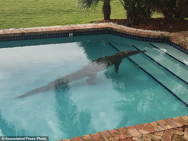 A crocodile swam in a privately owned pool in Islamorada, Florida.